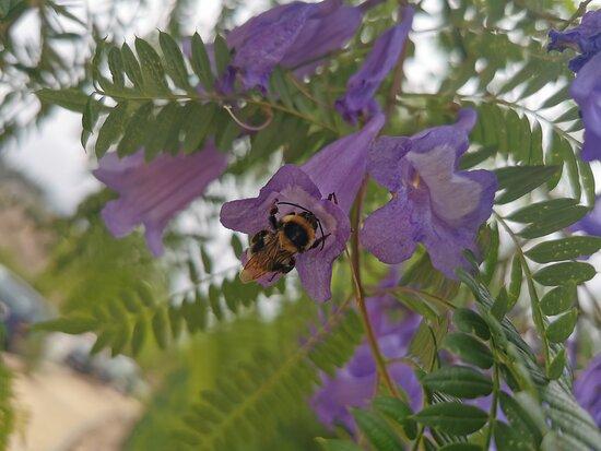 Cala Del Moral, Ισπανία: Flor de jacaranda.