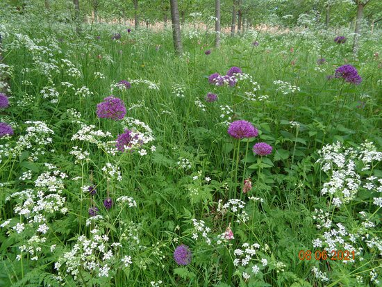 The Alnwick Garden Admission Ticket: Alliums in the cherry orchard