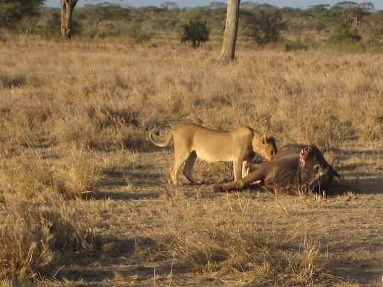 محمية ماساي مارا الوطنية, كينيا: Souvenirs de mes Voyages --- Kenya -- Les durs moments de réalité de la faune sauvage -- Cliquer sur la photo pour découvrir la prise de vue complète-- 21.07.02 -- 