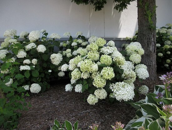 Annabelle Hydrangea. The Shoppes at Grand Prairie. Peoria IL, July 2021