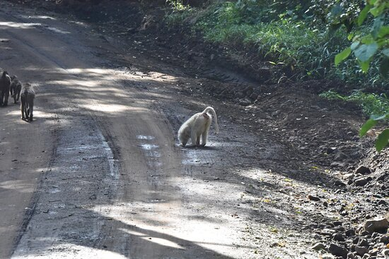 absolutely unique shot with an albino baboon in Arusha National Park.