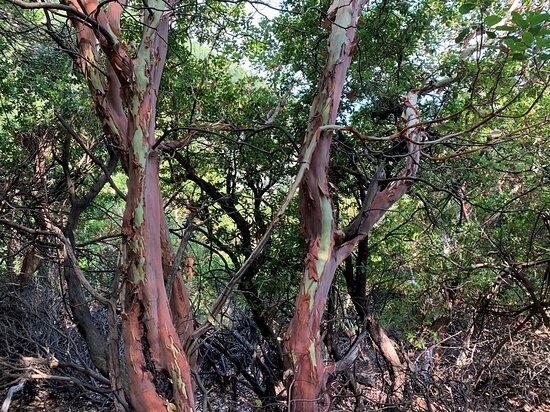 Glistrokoumaria trees on the way to Gria Vathra canyon trip.