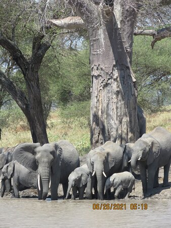 Tarangire National Park African elephants and baby