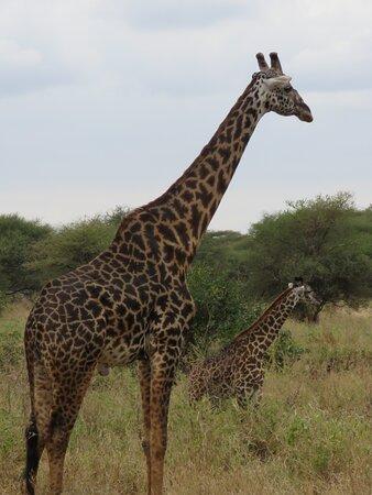 Tarangire National Park giraffe