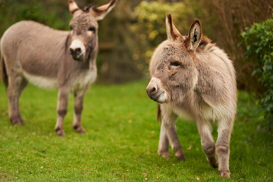 The miniature donkeys in the grounds