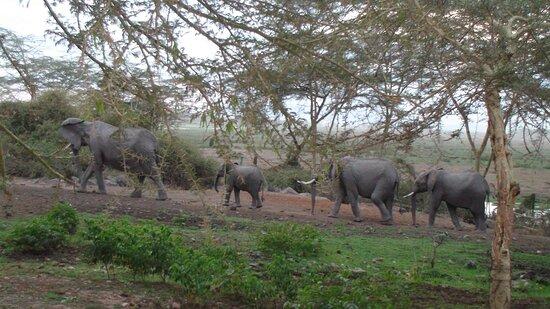 Amboseli National Park, Kenia: Souvenirs de mes Voyages -- Kenya -- Passage d'une famille éléphant au petit matin devant la terrasse de notre lodge -- 21.07.04 -- Cliquer sur la photo pour découvrir la prise de vue complète