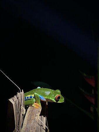 Caminata Nocturna - Rana arborícola de ojos rojos.