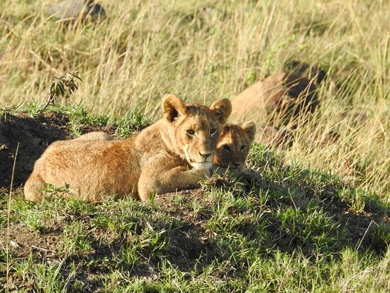 Lioness and Cub on the look out