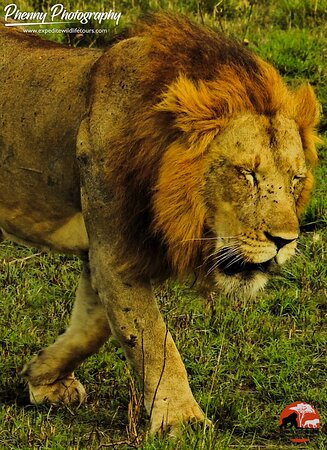He truly walks like a king 👑. Visit Queen Elizabeth National Park in Uganda and walk with the king.   Location: Queen Elizabeth National Park.  Camera: Nikon Coolpix P900 📷 Phenny    For your inquiries and bookings👇👇 info@expeditewildlifetours.com Whatsapp: +256788649334 www.expeditewildlifetours.com  #photographytravel #africantravel #wildlifesafaris #luxurysafaris #luxuryretreat #travelphotography #travelwithfriends #specialistphotosafaris #luxurytraveller #wildlifephotographicsafaris