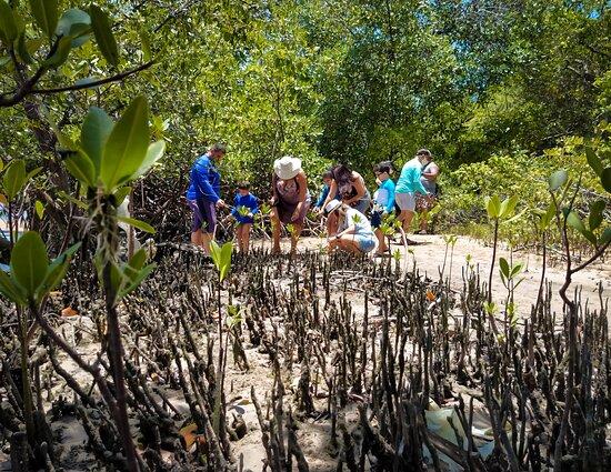 Barra do Camaratuba, PB: Reflorestamento dos Manguezais...