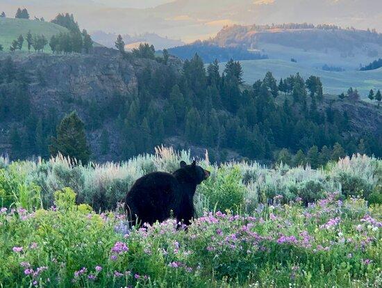 Cinnamon black bear momma. - Photo de Yellowstone Guidelines, Livingston - Tripadvisor