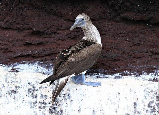 Ilhas Galápagos, Equador: Galapagos blue footed booby