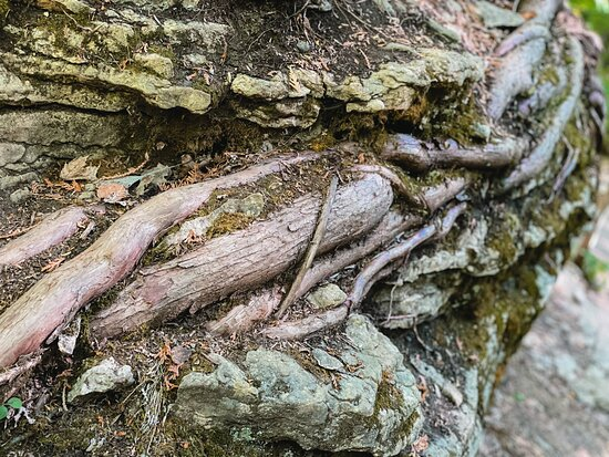 Tree roots between layers of rock. The tree was over 20 meters tall and very healthy. We think JRR Tolkien must have seen formations like this when he created the Ents in Lord of the Rings.
