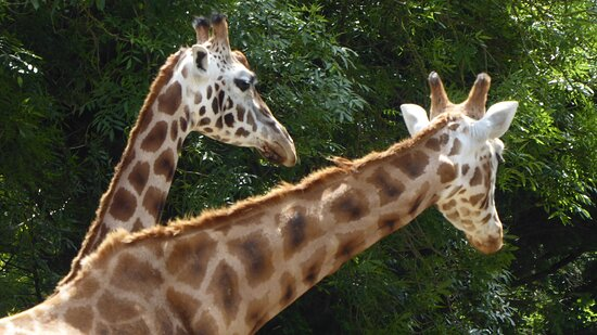 Paignton Zoo Environmental Park - there is always something majestic about giraffes
