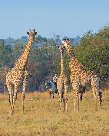 Journey of giraffe on the Signature safari and African Explorer
