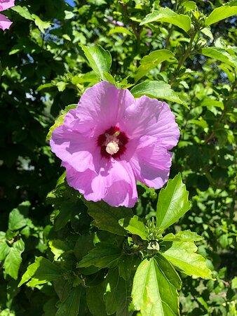 Fiore di IBISCUS …. rosa !