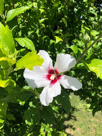 Fiore di IBISCUS  di colore bianco ….