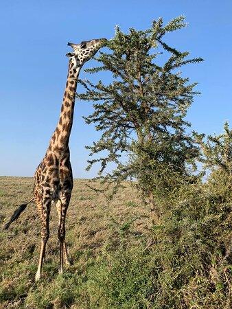 Giraffe at Serengeti.
