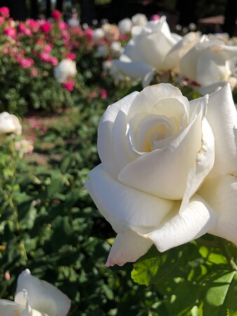 Lovely rose in Bloom