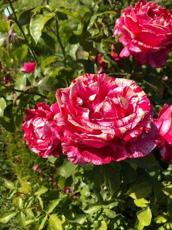 Our favorite rose in Bloom