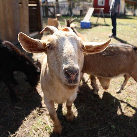 Charleston, SC: Fainting goats!