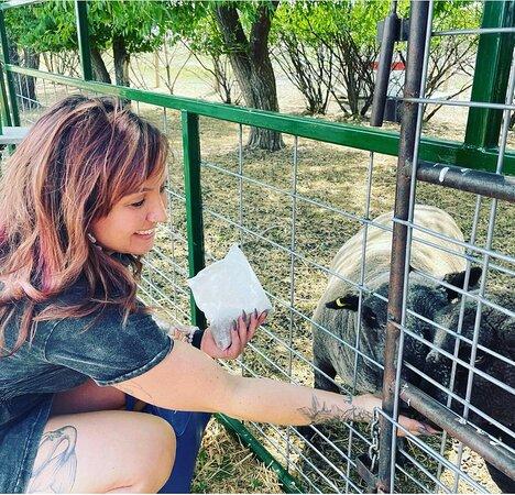 Feeding the babydoll sheep at Grotto Gardens