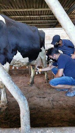 mugir a vaca