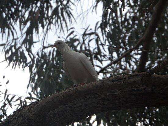 Aves III