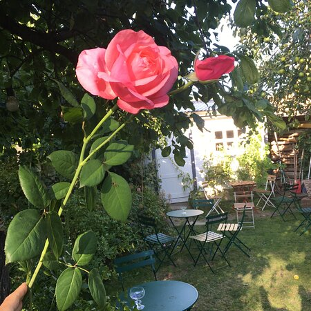 A pink rose in Camilles Trädgård.