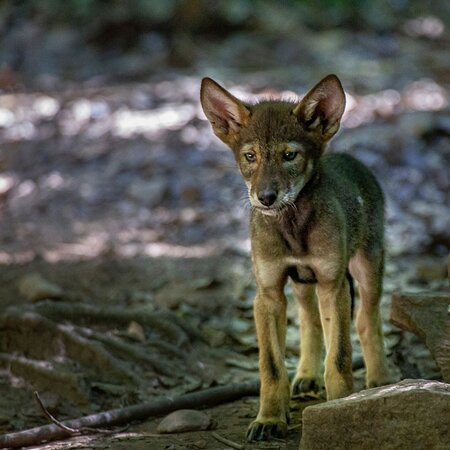 See Red Wolf puppies born in May 2021