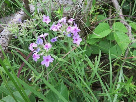 Phlox pilosa (Prairie Phlox) amid poison ivy