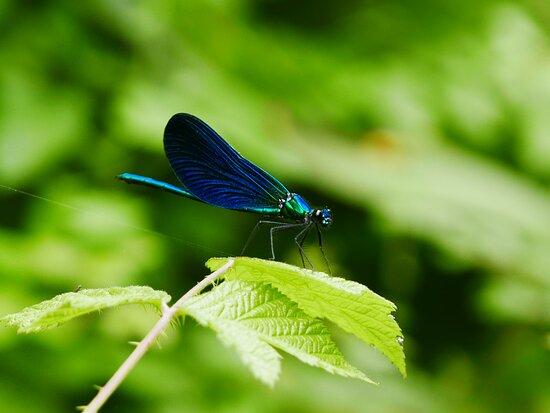 ..libellule, indicatrici ambientali dell'integrità naturalistica del luogo.