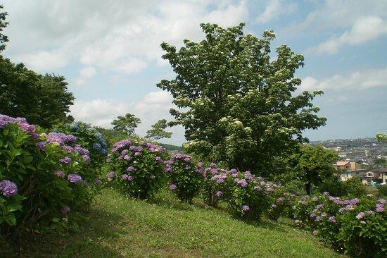 Kanazawa, Japan: 大乗寺丘陵公園あじさい園