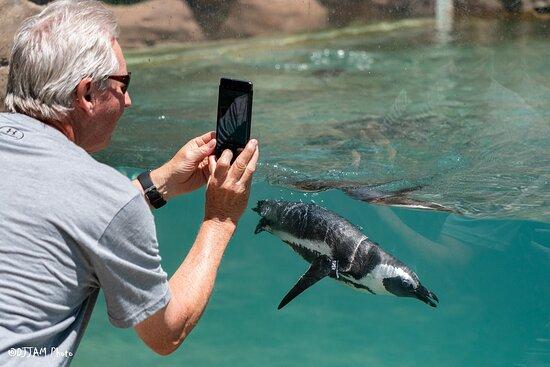 See African penguins swim under water!
