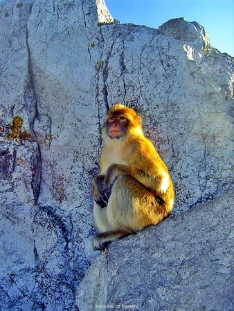 Gibraltar Town: At the top of the Rock of Gibraltar you will be able to see countless monkeys ruling as king of the rock! They are a thriving group of wild monkeys originally from the Atlas Mountains and the Rif Mountains of Morocco. No one knows just how they were brought over from the African continent to the European continent, but most likely it was due to human activity. This troop or barrel of Barbary macaque monkeys is the only wild population of monkeys on the European continent.   #TreasuresOfTraveling
