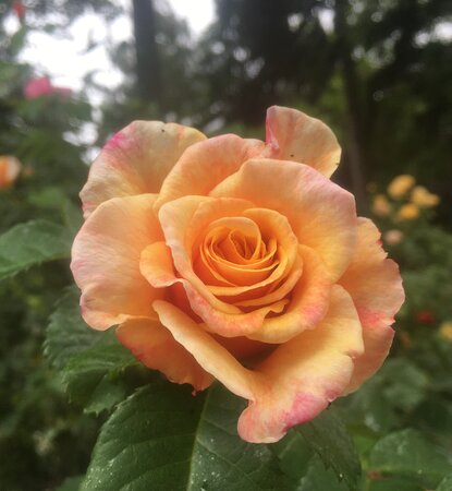 Stunning smell from the roses