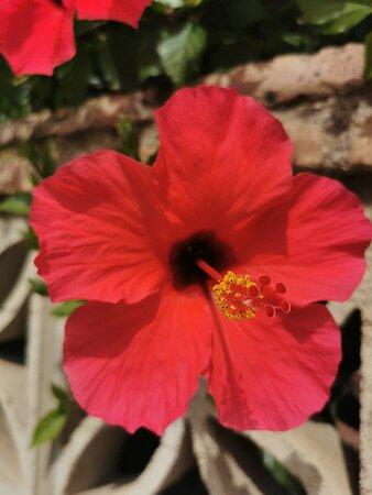 Bonitos hibiscus.