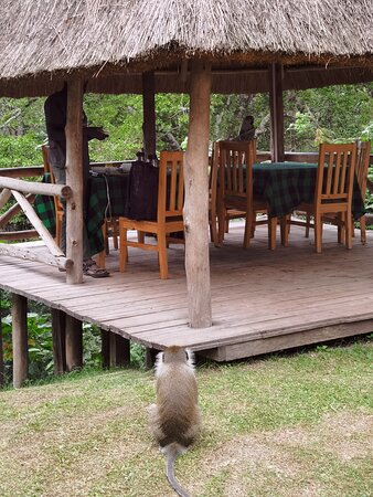 dining terrace + vervet monkey