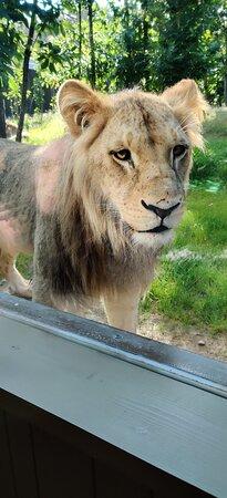Lodge Lion
