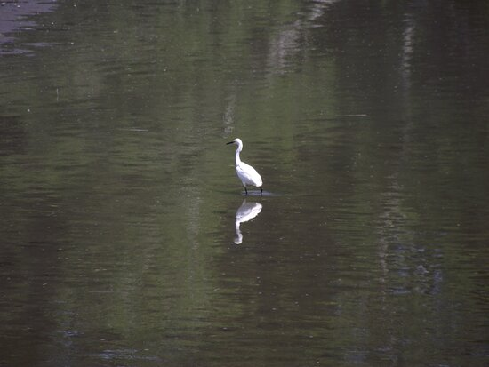ME - SCARBOROUGH – EASTERN TRAIL – SNOWY EGRET #1 WADING - A LIITLE LATER