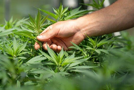 Cannabis SativaL