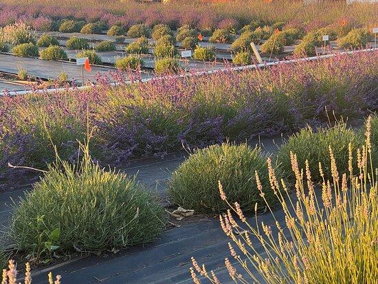 Crockett Road Lavender Farm