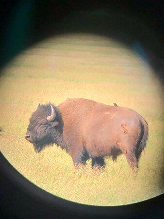 Half Day Grand Teton Wildlife Safari Tour: Bull Bison through Grant's spotting scope.