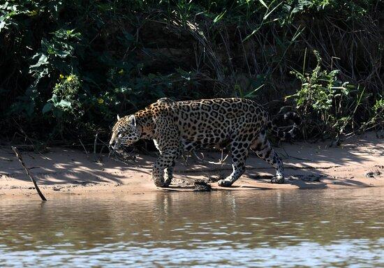 Jaguar in the Pantanal.