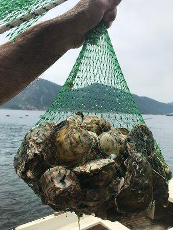 Kotor kommun, Montenegro: You can choose your oyster!
