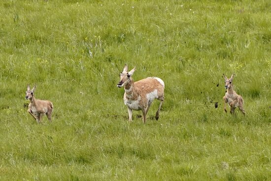 We saw this pronghorn mother and babies fleeing the pursuit of a wolf.  They too fast for the wolf.