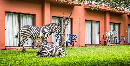 Zebras grazing on the lawn in front of the Avani Rooms.