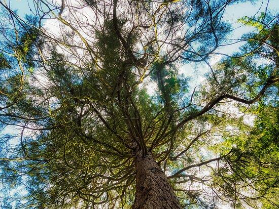 Peebles, UK: Tree canopy