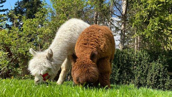 Alpaca gang in giardino