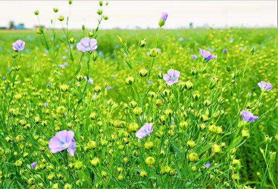 Tobetsu-cho, Japan: Flax field (1)